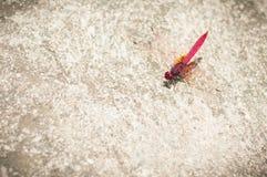 Eine rosa Libelle sitzt auf Beton Lizenzfreie Stockfotografie