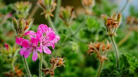Eine rosa magentarote Blumennahaufnahme lizenzfreies stockfoto