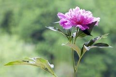 Eine rosa Pfingstrose mit Blättern im grünen Hintergrund Stockfotos