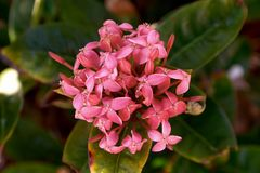 Eine rosafarbene Blume Stockbilder