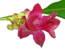 Eine rosafarbene ?Gelbwurz? Blume Stockbild