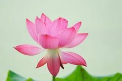 Eine rosafarbene Lotosblume stockfotos