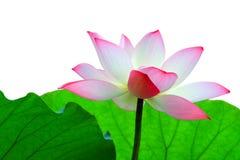 Eine rosafarbene Lotosblume gegen Laub für sich Lizenzfreies Stockfoto