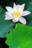 Eine rosafarbene Lotosblume und eine Knospe unter grünem Laub Lizenzfreies Stockbild