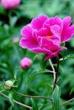 Eine rosafarbene Pfingstrose Lizenzfreies Stockbild