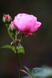 Eine rosafarbene Rose Stockbild