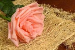 Eine Rosarose auf einem dunklen Hintergrund Stockbilder