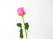Eine Rosarose auf weißem Hintergrund Stockbilder