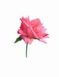 Eine Rosarose auf weißem Hintergrund Stockfotografie