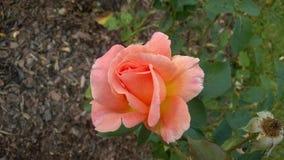 Eine Rose Lizenzfreies Stockbild