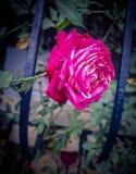 Eine Rose lizenzfreie stockfotografie