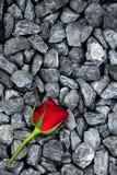 Eine Rose auf den Felsen Stockbild