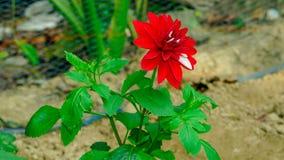 Eine Rose in einem Garten weit und mit Blitz Stockbilder