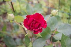 Eine Rose im Garten stock abbildung