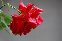 Eine Rose im Regen lizenzfreie stockfotografie