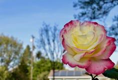 Eine Rose im Winter Stockbild