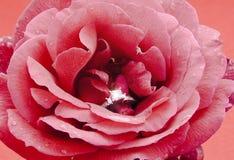 Eine Rose mit Liebe Stockfoto