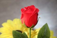 Eine Rose lizenzfreie stockfotos