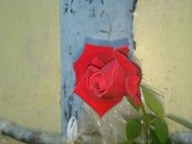 Eine Rose schön Stockfotos