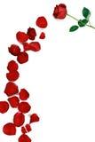 Eine Rose und rosafarbenen Blumenblätter stockbild
