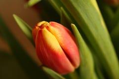Eine rot-gelbe Tulpe stockfoto