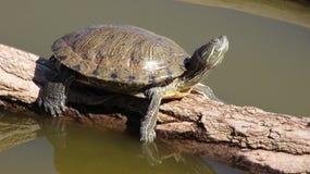 Eine Rot-ohrige Schieberschildkröte, die auf einem toten Zweig sich aalt Lizenzfreie Stockfotografie