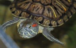 Eine rot-ohrige Schildkröte Stockfoto