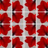Eine rote Amaryllis-Blume innerhalb der grauen Quadrate Lizenzfreies Stockbild