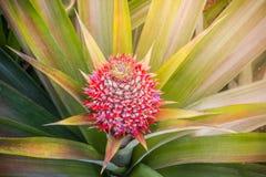 Eine rote Ananas des Babys im Garten Lizenzfreies Stockbild
