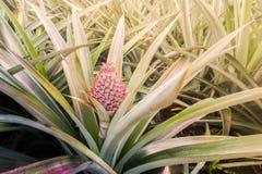 Eine rote Ananas des Babys im Garten und haben rote Farbe Stockfotografie