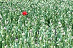 Eine rote blühende Tulpe auf dem Feld Stockbild