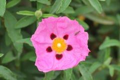 Eine rote Blume in einem Garten Lizenzfreie Stockfotografie