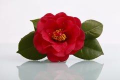 Eine rote Blume mit Reflexion Lizenzfreies Stockbild