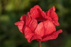 Eine rote Blume mit Tropfen des Taus an einem sonnigen Tag des Sommers des g Lizenzfreie Stockfotografie