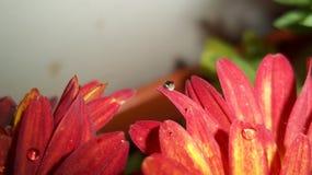 Eine rote Blume und ein Tropfen des Lebens Stockbilder