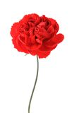 Eine rote Gartennelke lizenzfreie stockfotografie