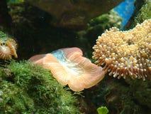 Eine rote geöffnete Gehirn-Koralle u. ein Pilz Stockfotos