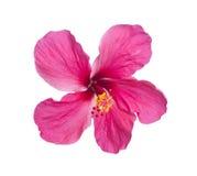 Eine rote Hibiscusblume lokalisiert auf Weiß Stockfotografie