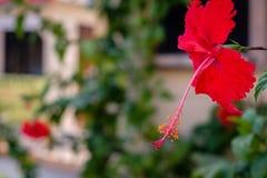 Eine rote Hibiscusblume vor einem Shop Lizenzfreies Stockfoto