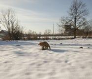 Eine rote Katze der getigerten Katze, die auf dem Schnee spielt; Polen Lizenzfreies Stockbild