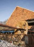 Eine rote Katze, die hinunter ein Geländer geht; Polen Stockbilder
