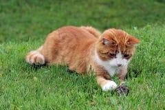 Eine rote Katze und eine Maus Stockbild
