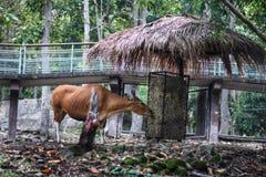 Eine rote Kuh, die das trockene Gras isst stockbild