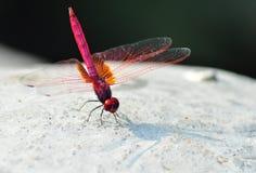 Eine rote Libelle Stockfotos