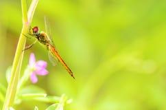 Eine rote Libelle Lizenzfreies Stockbild