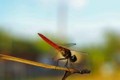Eine rote Libelle Stockfoto