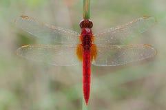 Eine rote Libellennahaufnahme Stockfotografie