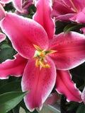 Eine rote Lilie Lizenzfreies Stockfoto