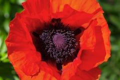 Eine rote Mohnblume auf einem grünen Hintergrund im Garten Lizenzfreies Stockfoto