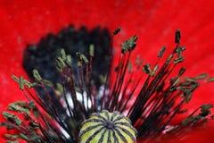 Eine rote Mohnblumeblüte Lizenzfreies Stockfoto